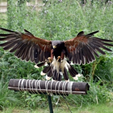 falconry experience leicestershire